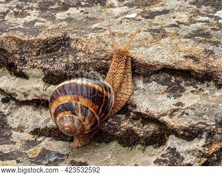 Edible Snail Or Escargot (helix Pomatia) Crawling On A Rock.