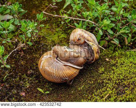 The Process Of Copulation In Edible Snail Or Escargot (helix Pomatia).