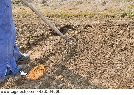 A Farmer Rakes The Soil With A Rake In The Spring Before Planting Vegetable Seeds