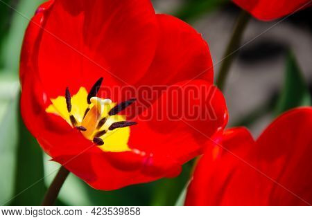 Details Of Inner Tulip Flower With Pistil And Stamen. Close-up Of Tulip. Large Beautiful Blossoming