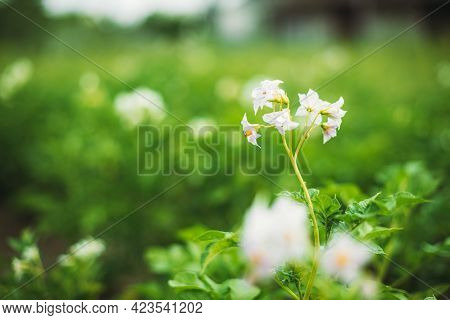Close Flowering Blooming Green Vernal Sprouts Of Potato Plant Or Solanum Tuberosum Growing On Planta
