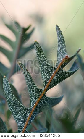 Unusual Blue Green Fern-like Ornamental Leaves Of The Australian Native Southern Blechnum Banksia, B