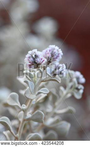 Purple Flowers And Hairy Grey Foliage Of The Australian Native Shrub Ptilotus Obovatus, Family Amara