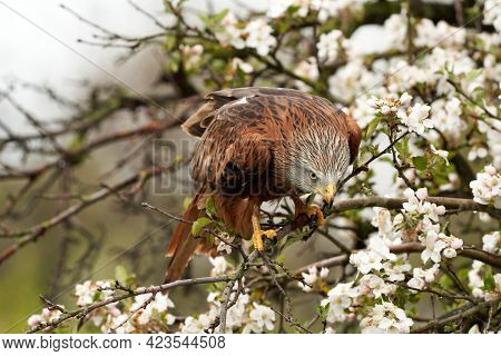 Red Kite, In A Tree With White Blossom. Bird Of Prey Portrait With Yellow Bill And Red Plumage And B