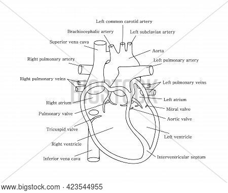 Human Cardiac System With Descriptions. Educational Diagram With Human Heart Cross-section.