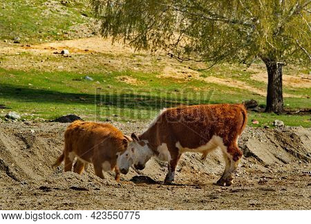 Russia. South Of Western Siberia, Mountain Altai. On A Sunny Spring Day, Two Young Steers Find Out T