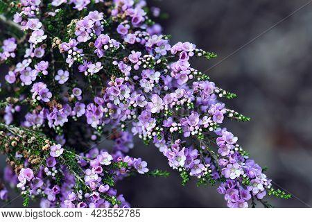 Delicate Purple Flowers Of The Australian Native Shrub Thryptomene Denticulata, Family Myrtaceae. En