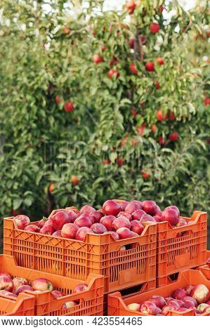 Full Crate Wooden Crates Of Fresh Apples. Farm Harvesting, Vintage Style Of Harvest Storage
