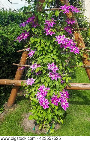 Vine Clematis Flower In Summer Gardern. Pink Blossom Dr Rupper Near To The House