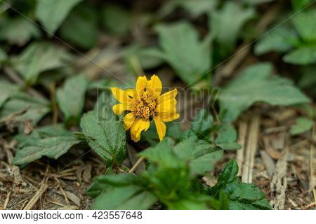 The Wild Flower Plant That The Common Name Is Bay Biscayne Creeping-oxeye Sphagneticola Trilobata, O