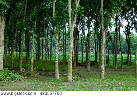 The Woodland Forest Where Rows And Rows Of Mahogany Trees And Jute Crop Field Around The Biggest For
