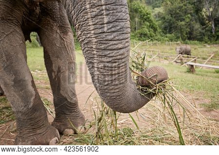 Close-up View Of Elephant Trunk During Eating, Chiang Mai Province, Thailand