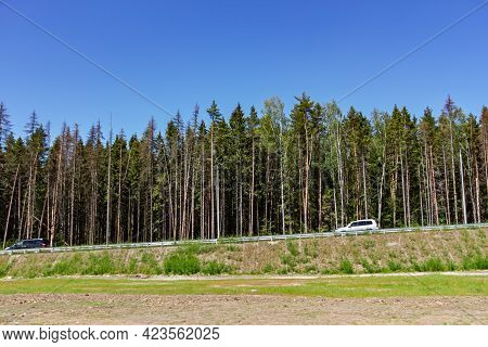 Cars Drive Along The Road Past A Row Of Tall Pine Trees Against A Blue Sky At Summer Time. People Le