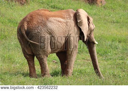 Great Beautiful Wild Animal Elephants Huge Tusks