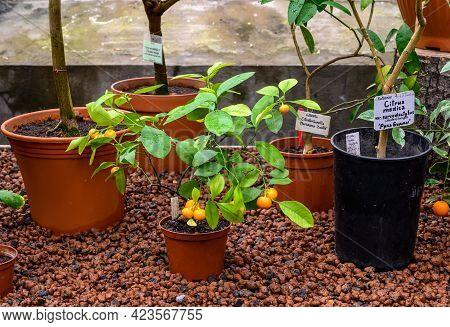 Small Citrus Trees. Tangerines Among Foliage. Tangerine On A Tree