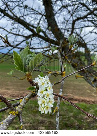 White Beautiful Flowers In The Tree Blooming In The Early Spring, Backgroung Blured. High Quality Ph