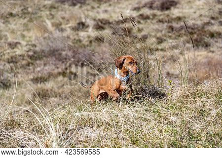 Brown Short-haired Dachshund Running Between Wild Grass And Heather In Dunes, Sunny Spring Day In Sc