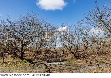 Small Bare Trees Surrounding A Wooden Bench In A Dutch Dune Reserve, Sunny Spring Day With A Blue Sk