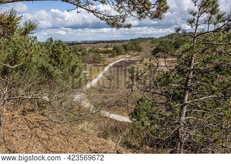 Hiking Trails In A Dutch Nature Reserve With Pine Trees, Wild Plants, Dry Heather And Dunes, Sunny D
