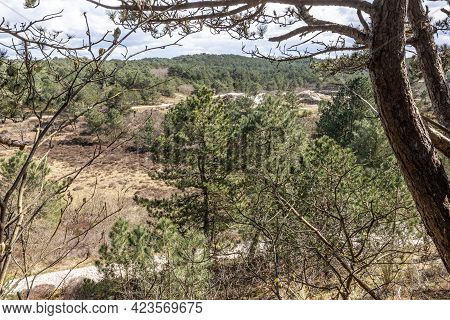 Green Pine Trees Surrounded By Wild Plants, Dry Heather And Hiking Trails In A Dutch Nature Reserve,