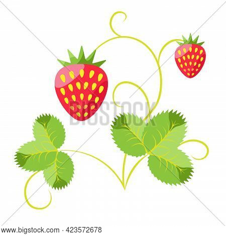 A Bush Of Fruiting Strawberries.\nvector Image Isolated On White Background. Strawberries, Leaves, S