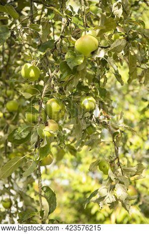 Many Green Apples On Tree In A Summer Garden