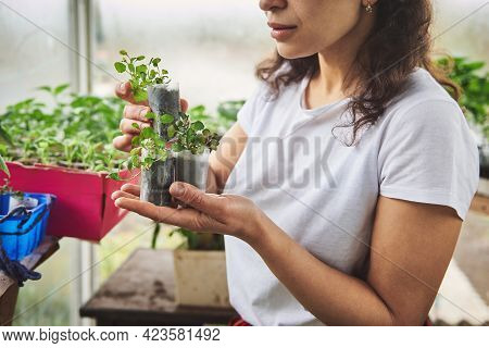 Young Gardener Standing Inside A Greenhouse And Holding Seedlings With Soil In Cups. Concepts Of Hob