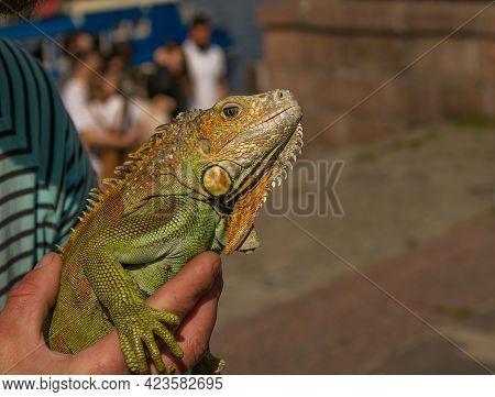 Close Up Of A Male Green Iguana Or American Iguana With Spines And Dewlap A Large Neck Bag. A Man Ho