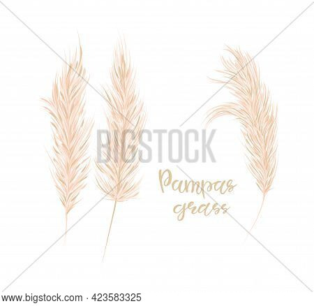 Pampas Grass Set. Floral Ornamental Grass On White Background. Feathery Flower Head Plumes, Used In