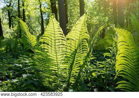 Fern In The Forest, Large Green Shoots Of Fern In The Sunlight, Wildlife Background, Forest Landscap