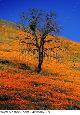 Leafless Tree On A Hillside Of Poppies In Bloom