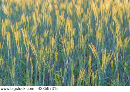 The Ears Of Rye And Grain Shake The Wind. Rye Ears Against The Sun. Field Of Grain. The Cereal Harve