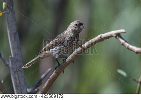 Curious Finch Clings To Deadwood Tree Branch With A Watchful Eye Looking Out For Danger In The Estua