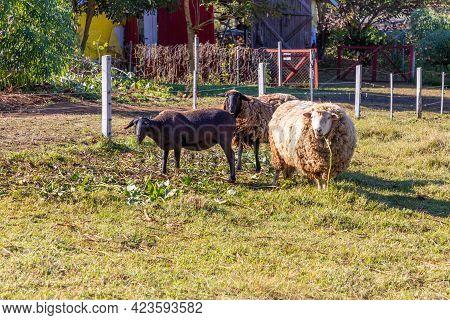 Sheeps Grazing In A Farm Field, Pnhal Alto, Nova Petropolis, Rio Grande Do Sul, Brazil