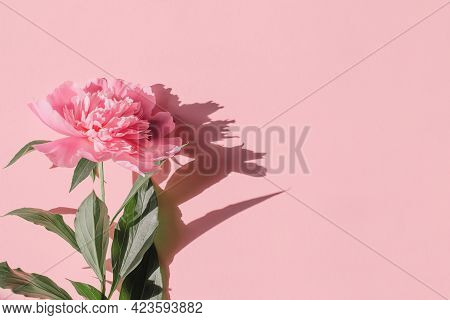 Summer Composition With Pink Peony Flower Close Up On Pastel Background With Sunlit. Creative Layout
