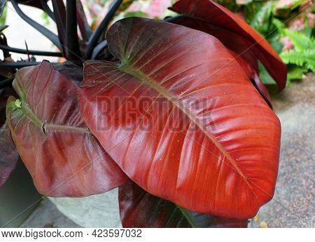 Red Leaves Of Philodendron Black Cardinal, A Popular Indoor Plant