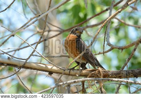 American Robin Bird Or Turdus Migratorius Eating Winged Insect While Perched On Tree Branch