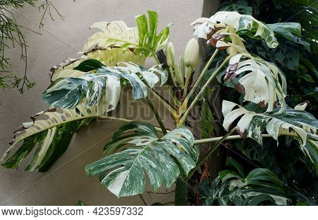 A Fully Grown Variegated Monstera Deliciosa Albo Plant