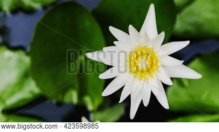 Close Up Top View White Lotus Flower Or Water Lily Flower Blossom In On The Water Surface And Dark B
