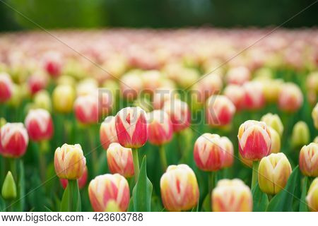 Tulips Pink, Many Tulips, Different Varieties Of Tulips, Bright Spring Flowers, Background Image, Se