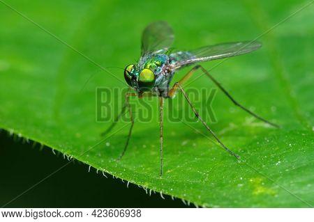 Macro Photography Of Long Legged Fly On Green Leaf