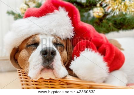 Sleeping Dog Weared To Santa Hat