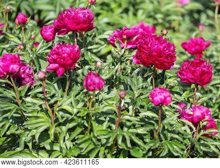 Herbaceous Peonies Kobzar. The Bush Is Upright. The Flower Is Densely Rose-shaped. The Color Is Dark