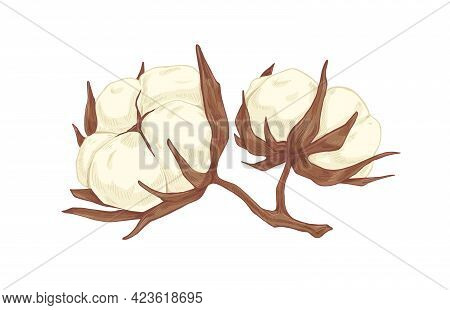 Fluffy Soft Buds Of Cotton Flower. Botanical Drawing Of Coton Bolls In Vintage Style. Realistic Hand