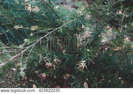 Native Australian Grevillea Semperflorens Plant With Yellow Nd Pink Flowers Outdoor In Sunny Backyar
