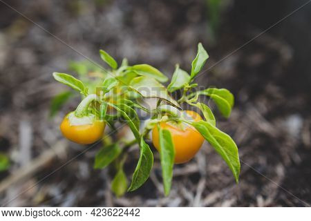 Close-up Of Mini Bell Pepper Plant Outdoor In Sunny Vegetable Garden Shot At Shallow Depth Of Field