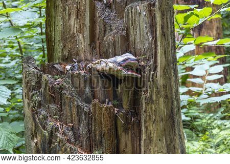 Beautiful Nature Backgrounds. View Of Part Of Very Old Decaying Trunk On Green Plants Background. Sw