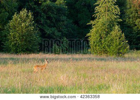 Roedeer On Hay Field