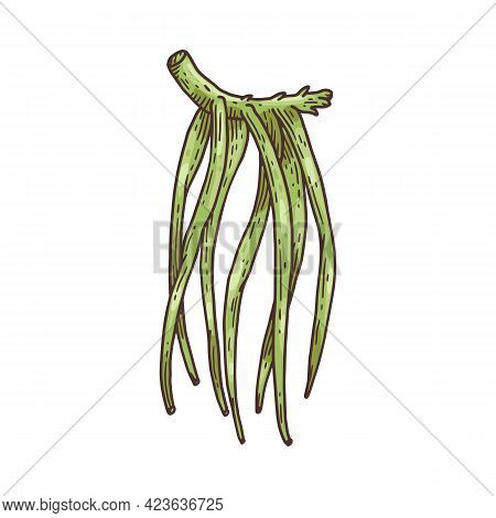 Green Vanilla Pods On Branch, Hand Drawn Vector Illustration Isolated On White.