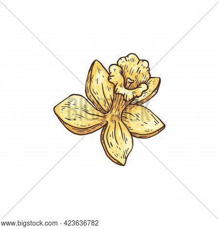 Vanilla Yellow Blooming Flower, Hand Drawn Sketch Vector Illustration Isolated.